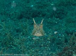 BD-090926-Lembeh-9264107-Lactoria-cornuta-(Linnaeus.-1758)-[Longhorn-cowfish].jpg